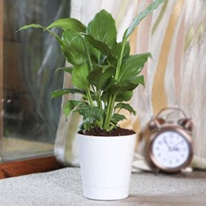 Peace Lily Plant With Self Watering Pot